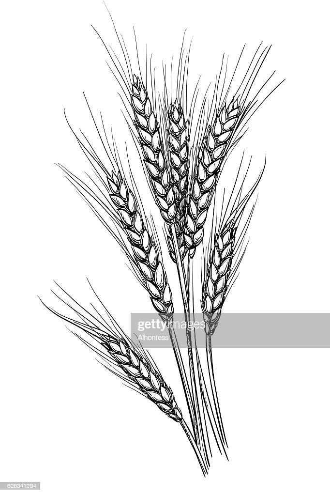 Vector illustration of wheat.