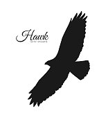 Vector illustration: Silhouette of flying Hawk isolated on white background. Black eagle.