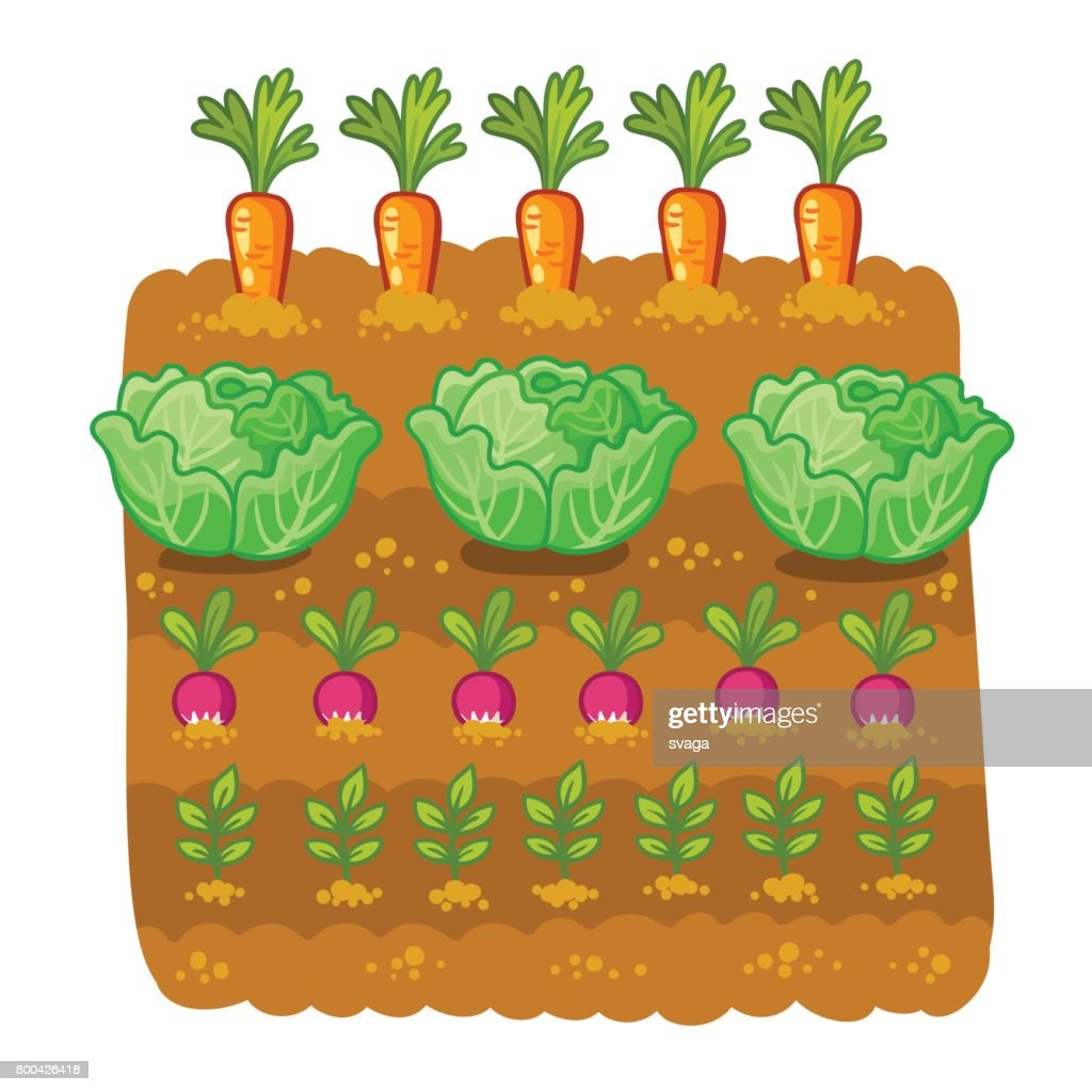 Vector illustration with cabbage and radish.