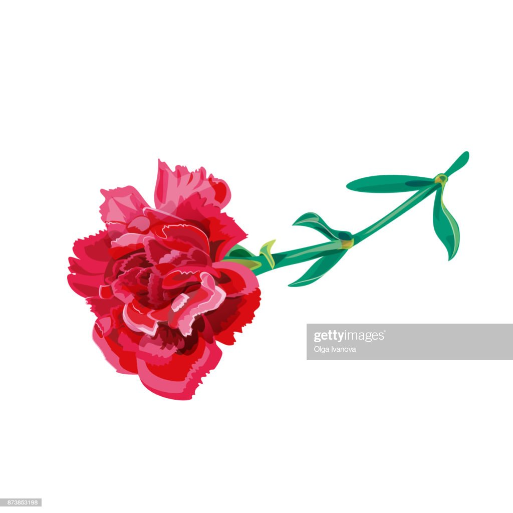 Vector illustration with red carnation schabaud, lying single flower, green stem, leaves on white background for Mother's Day, victory day, digital draw, vintage