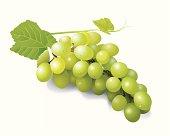 vector illustrator of green grapes