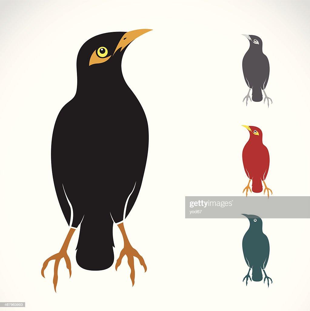Vector image of an Myna bird