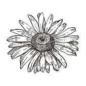 vector image daisy flower sketch style