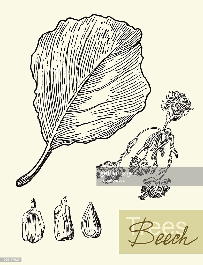 Vector image of leaves, flowers and fruits of beech.