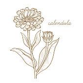 Vector image of medical plants. Calendula.