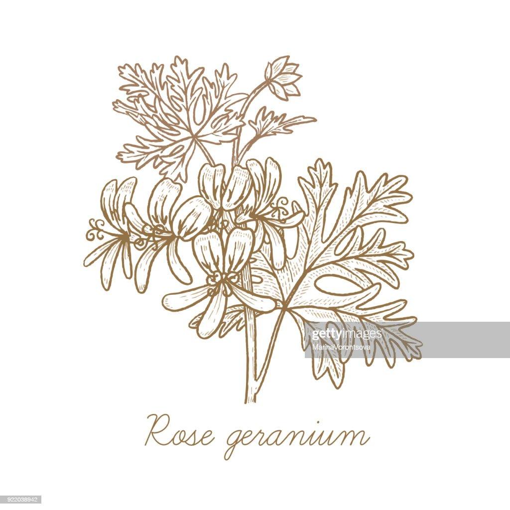 Vector image of medical plants. Rose geranium.