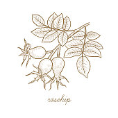 Vector image of medical plants. Rosehip.