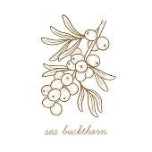 Vector image of medical plants. Sea buckthorn.