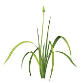 Vector isolated reed. Water green plant.