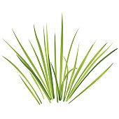 Vector isolated reed. Water plants in different variants, white background.