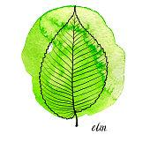 vector leaf of elm tree