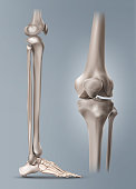 Vector medical illustration of the human leg or shin and bones of foot with knee-joint isolated on background