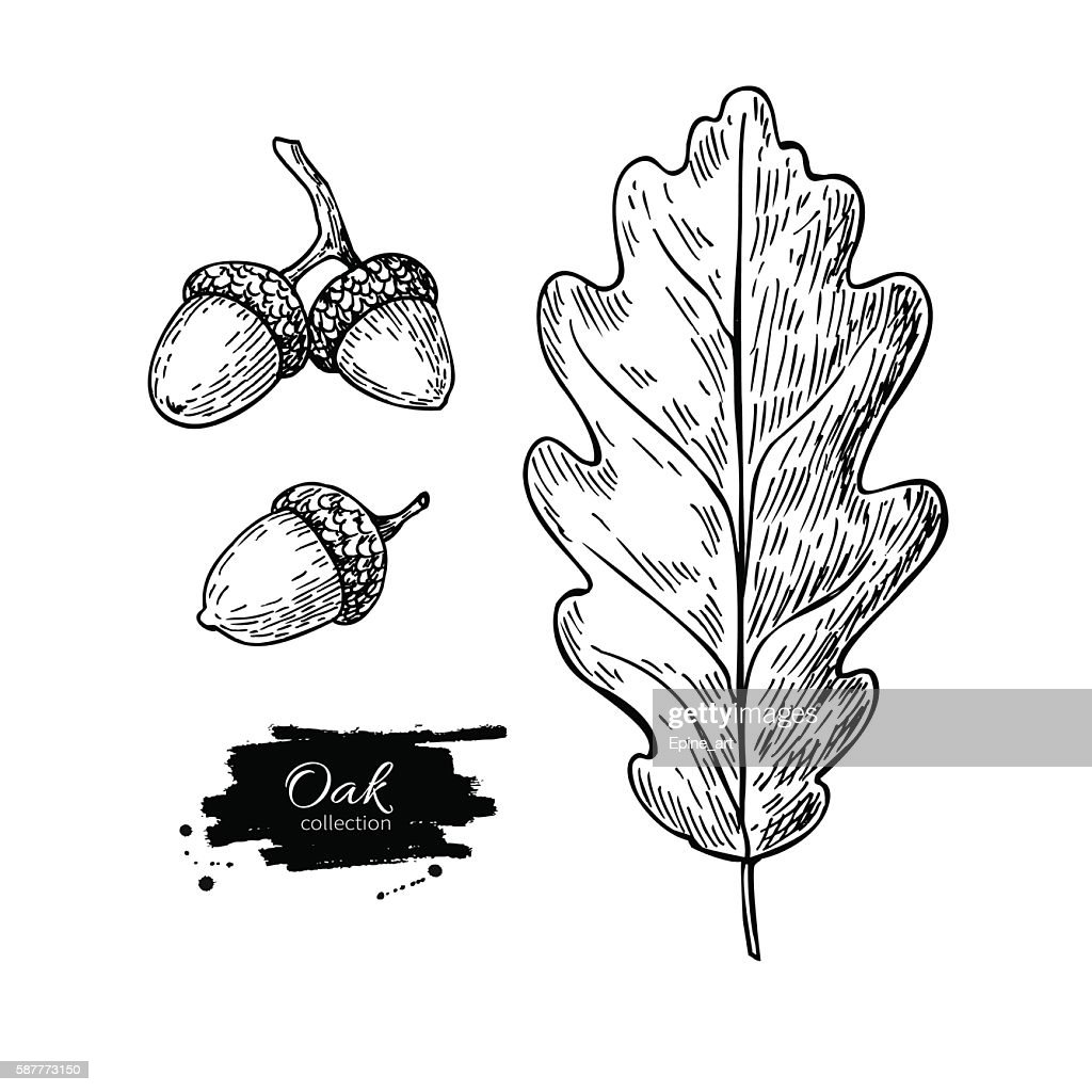 Vector oak leaf and acorn drawing set. Autumn elements.