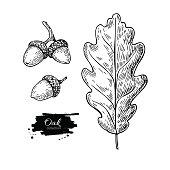 Vector oak leaf and acorn drawing set. Autumn elements.