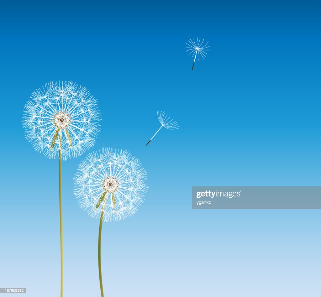 Vector of dandelions with two spores floating away