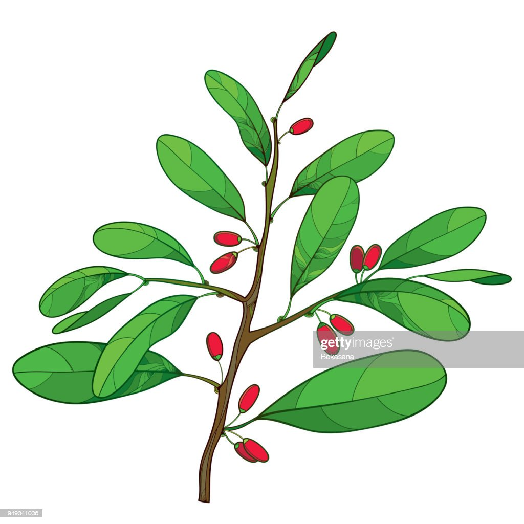 Vector outline branch of Cocaine plant or Erythroxylum coca with ornate green leaf and red fruit isolated on white background.