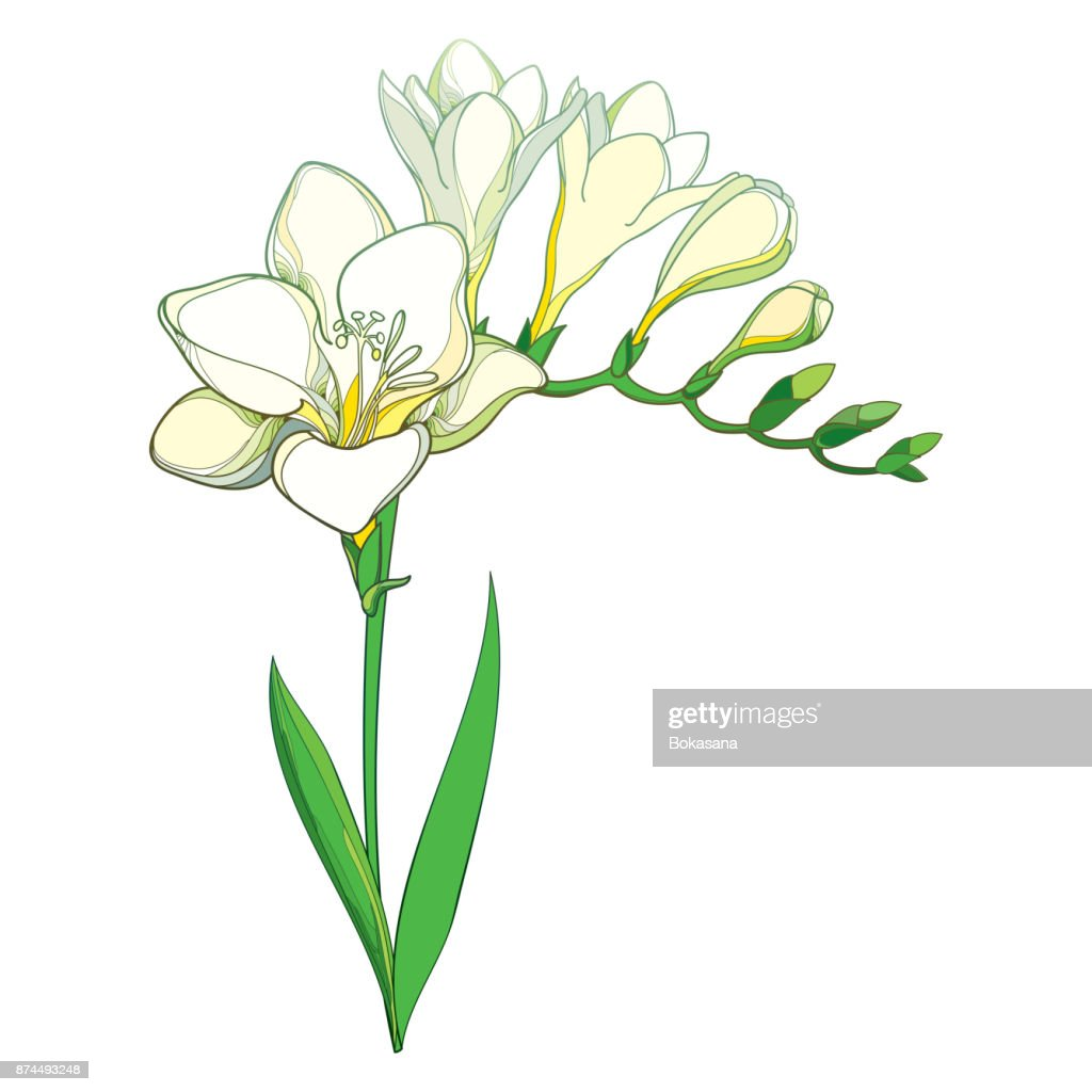 Vector Outline White Freesia Flower Bunch With Bud And Green Leaves