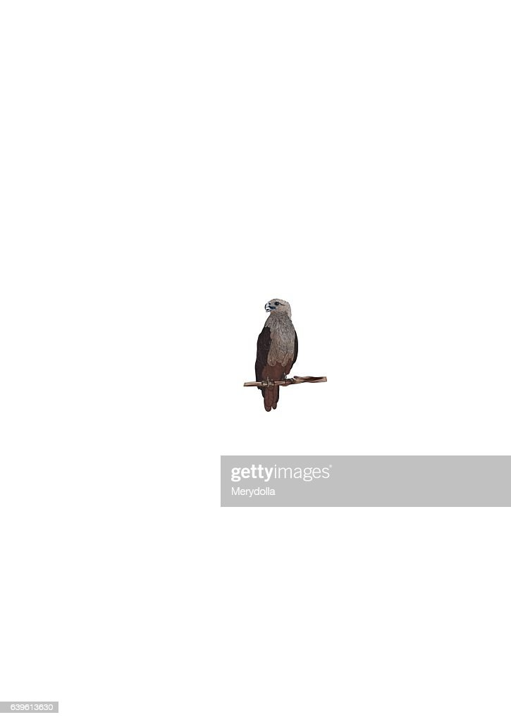 vector realistic eagle sitting on branch isolated