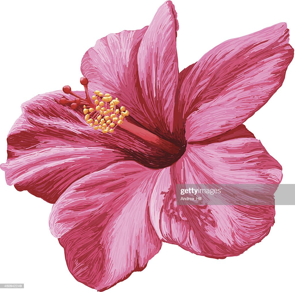 Vector realistic hibiscus flower isolated on white background vector vector realistic hibiscus flower isolated on white background vector art izmirmasajfo