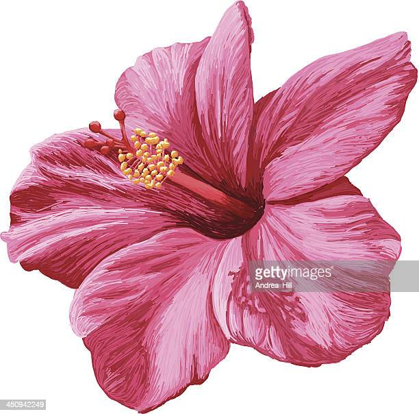 Vector Realistic Hibiscus Flower Isolated on White Background