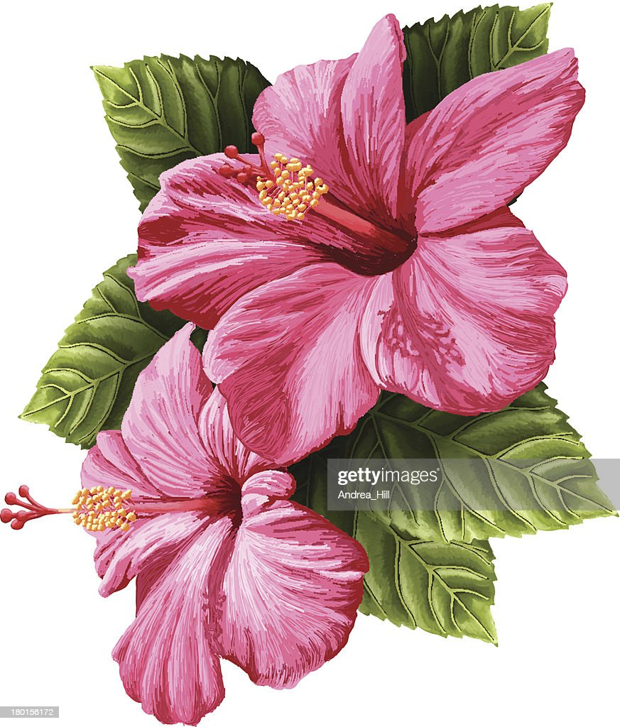 Vector Realistic Hibiscus Flowers Isolated on White Background