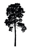 Vector realistic silhouette of coniferous tree isolated on white background