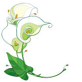 Vector round bouquet of outline Calla lily flower or Zantedeschia in pastel white with ornate green leaf isolated on white background.