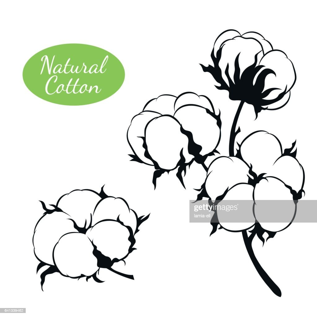 Vector set of cotton plant. Branch with flowers