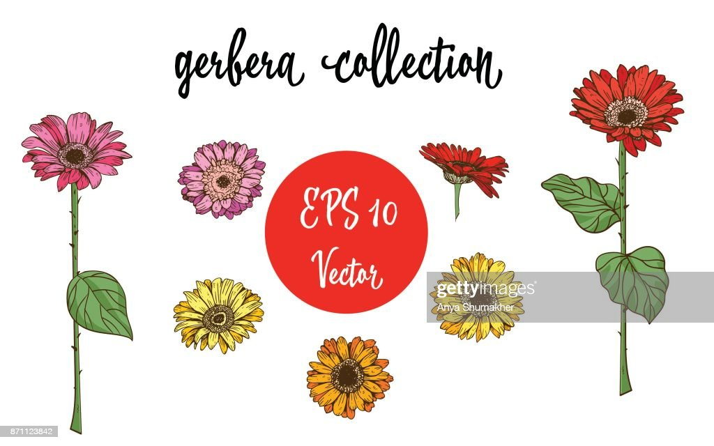 Vector set of Gerbera daisy orange, red, yellow flowers and green leaves on white background