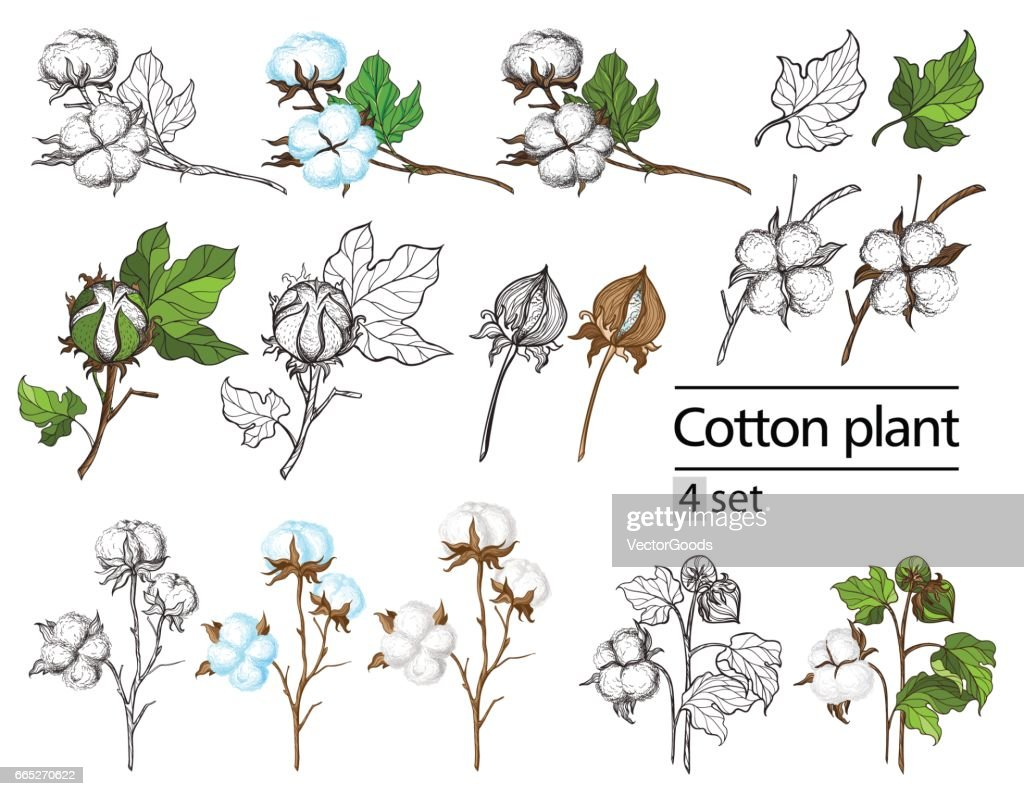 Vector Set Of Hand Draw Ink Cotton Plant And Lettering High Res