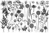 Vector set of hand drawn black and white astilbe, craspedia, blue eryngo, lagurus, cotton, gypsophila