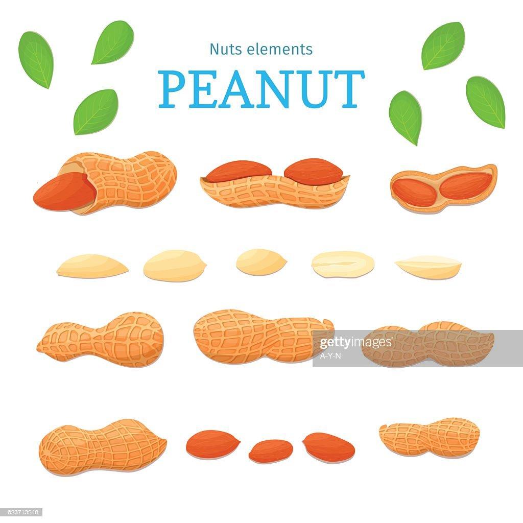 Vector set of nuts. Peanut nut fruit, whole, peeled, piece