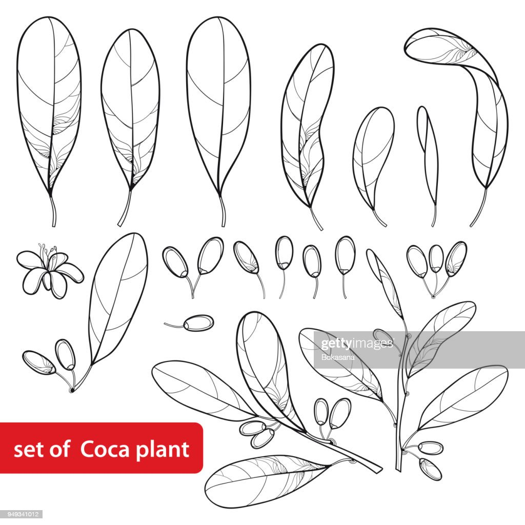 Vector set of outline Cocaine plant or Erythroxylum coca, bunch, leaf, flower and fruit in black isolated on white background.