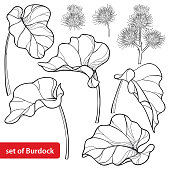 Vector set of outline greater Burdock or Arctium lappa, leaf and bur or seed in black isolated on white background.