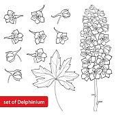 Vector set with Delphinium or Larkspur. Flower, bunch, bud and leaf isolated on white background.