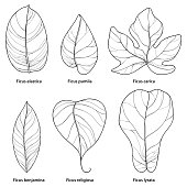 Vector set with outline different Ficus leaf isolated on white background.