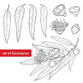 Vector set with outline Eucalyptus globulus or Tasmanian blue gum, fruit, flower and leaves isolated.
