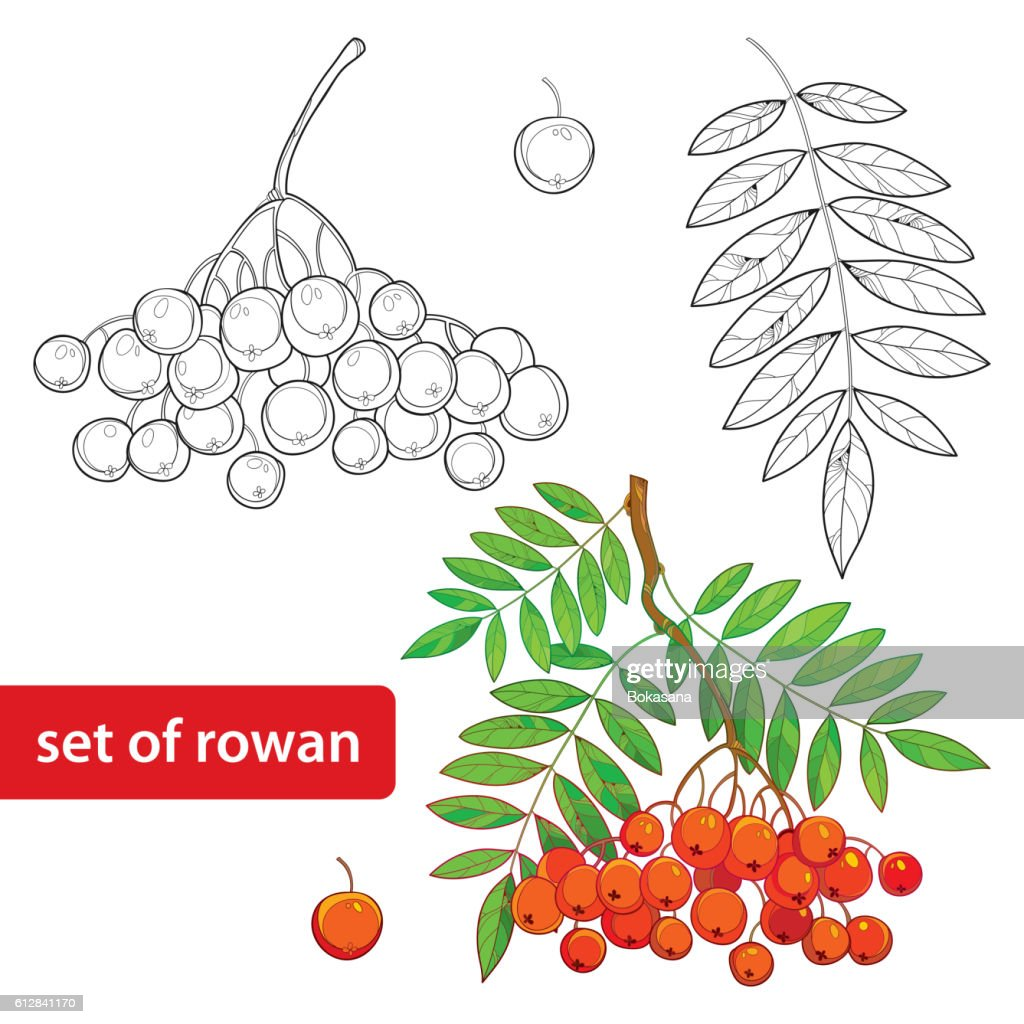 Vector set with outline Rowan, bunch, leaves and berry isolated.