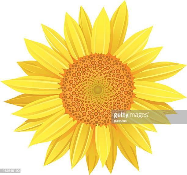 vector sunflower petals - sunflower stock illustrations, clip art, cartoons, & icons