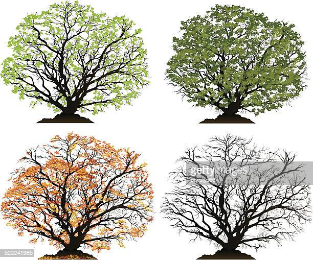 vector tree for each season, spring, summer, autumn, winter - deciduous tree stock illustrations, clip art, cartoons, & icons