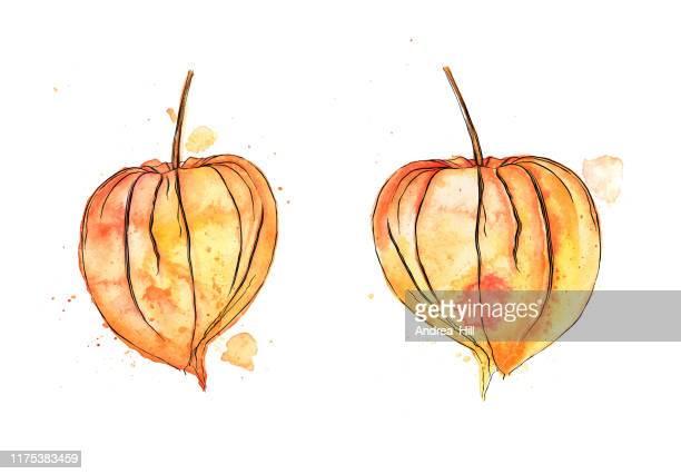 秋のフィサリス冬桜植物のベクトル水彩画とインク画 - ホメオパシー薬点のイラスト素材/クリップアート素材/マンガ素材/アイコン素材