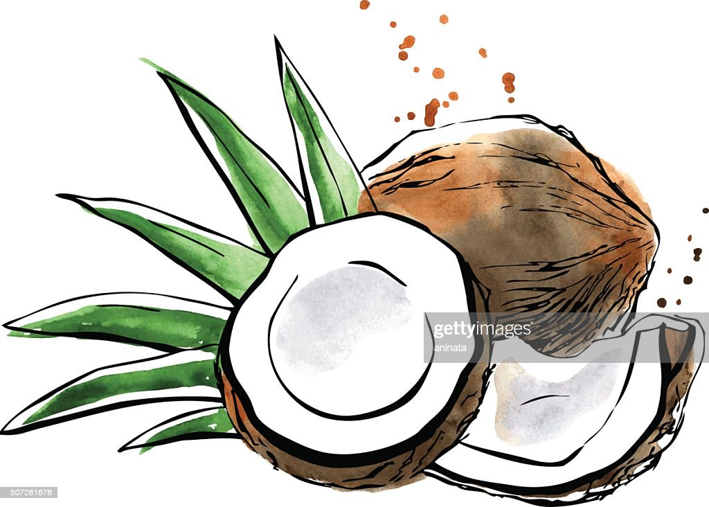 Vector watercolor illustration of coconut