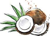 Vector watercolor illustration of coconut