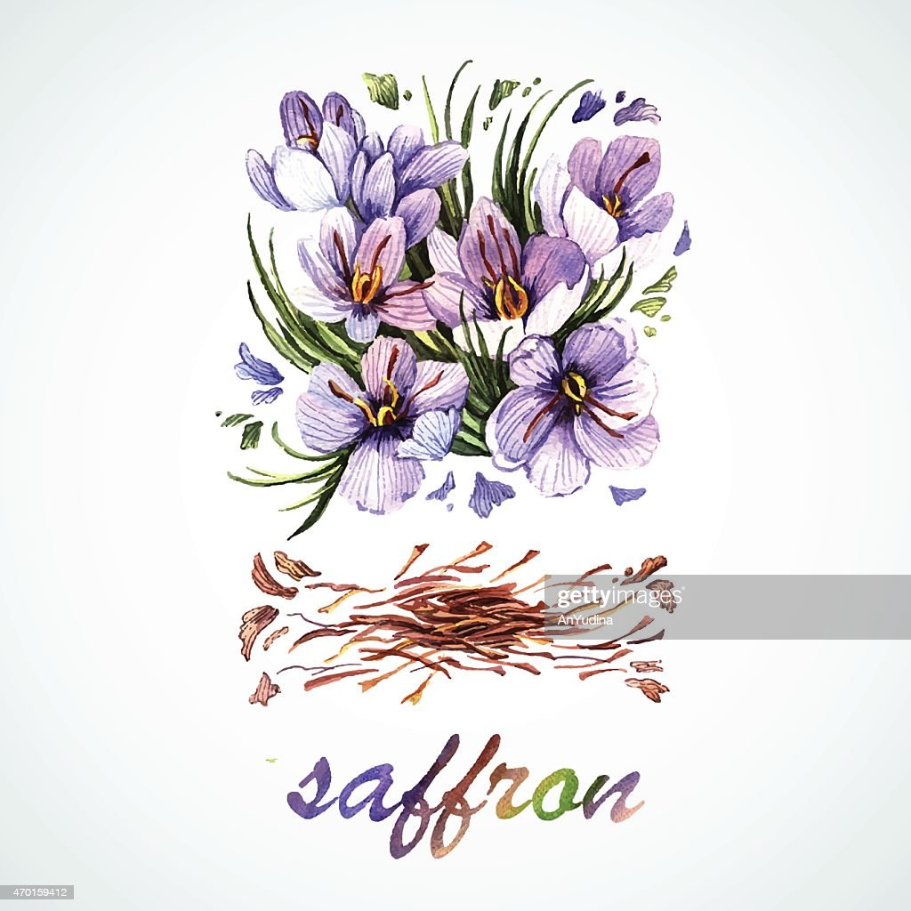 Vector watercolor Saffron