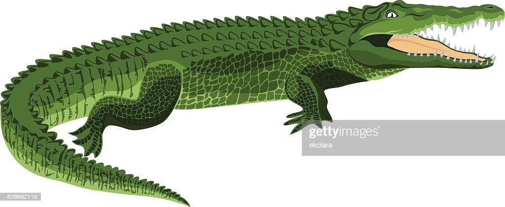 vector Wildlife crocodile