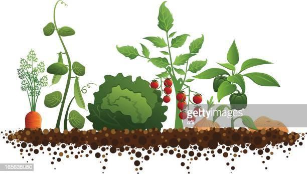 Illustrations et dessins anim s de jardin potager getty - Dessin de potager ...