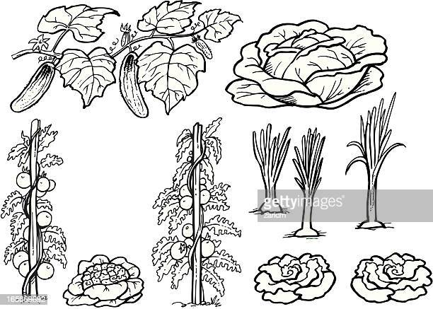 vegetable - white cabbage stock illustrations, clip art, cartoons, & icons