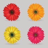 vibrant multi color lovely gerbera daisy flowers