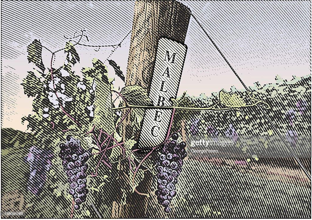 Vineyard Grapes Malbec : stock illustration