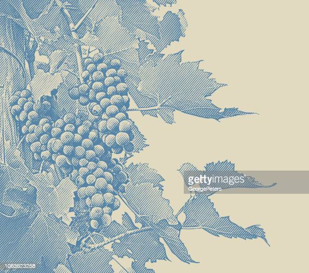 vineyard wine grapes and vines - vine stock illustrations